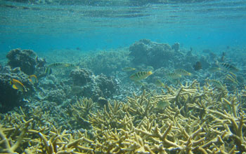 Photo of Acropora coral on NSF's Moorea Coral Reef LTER site.