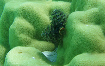 Photo taken in Tahitian waters of the coral Porites with Christmas tree worm.