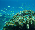 Photo of a head of Pocillopora coral with small fish in a lagoon.