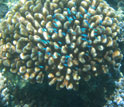 Close-up photo of Pocillopora coral with small fish darting in and out of the reef.