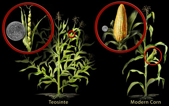 teosinte and corn image