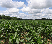 A Michigan corn field near the Kellogg Biological Station LTER site.