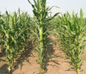 Photo showing maize rows with tall hybrid in center produced by crossing strains on left and right.