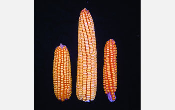 Photo showing three maize with large hybrid in center produced by cross of maize on left and right.