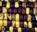 Photo showing kernel colors from produced by mobile pieces of DNA.