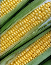 In 2005, NSF, DOE, and USDA funded the sequencing of the corn genome.