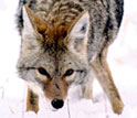 Photo showing a coyote on-the-hunt.