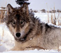 Photo of a gray wolf.
