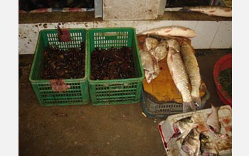Photo of exotic Louisiana crayfish for sale in a Chinese fish market.