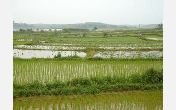 Photo showing healthy rice and lotus crops and a crayfish infested pond in the middle.
