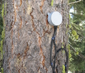 A sap-flux meter monitors a tree in the critical zone.