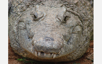 Photo of a Nile crocodile in Queen Elizabeth National Park, Uganda.