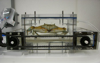 Image of a crab walking on a specially built treadmill while its vital signs are monitored.