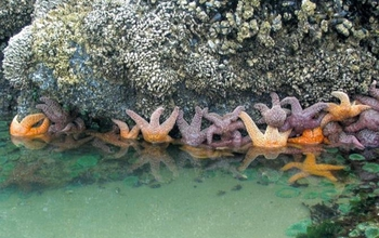 seastars holding on a rock in a bay