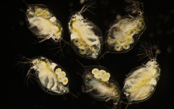 Image of six Daphnia dentifera individuals where upper right and center bottom are uninfected.