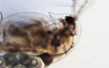 Image of a Daphnia dentifera almost completely infected with a virulent yeast parasite.