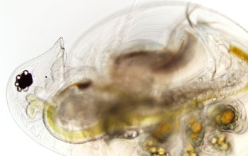 Image of a healthy Daphnia dentifera individual with gold and green embryos on her back.