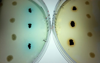 colonies of superoxide-producing bacteria growing on laboratory plates with dye
