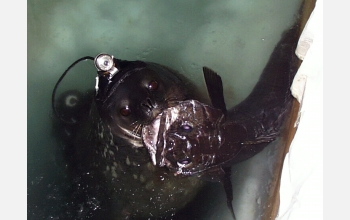 Weddell seal equipped with camera and data recorder