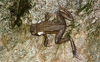 White poison oozes from the glands of this dead toad in a stream in El Cope, Panama.
