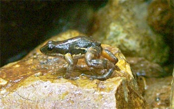 A rocket frog is dying near a stream in El Cope, Panama.