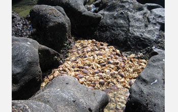 Photo of a pile of beached crabs that suffocated in a dead zone.
