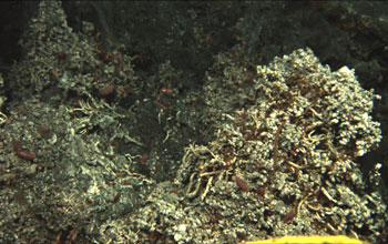 Photo of limpets covering the deep-sea floor near a hydrothermal vent.