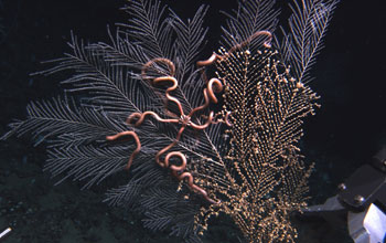 Photo of a sea fan with anemone and brittle starfish in the deep Gulf of Mexico.