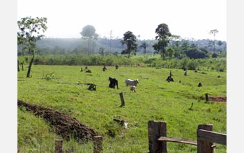 Photo of scattered tree stumps and cattle in the Brazilian Amazon.