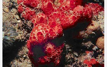 Photo of a demosponge, one of the the earliest known animals.