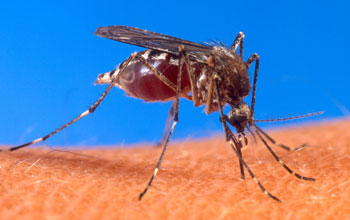 close up of a mosquito on skin