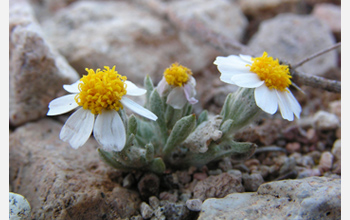 Photo of Eriophyllum lanosum, a desert winter annual.