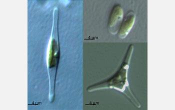 Micrographs, clockwise from top right, of oval, triradiate and fusiform P. tricornutum morphotypes.