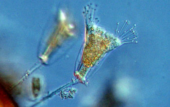 Researchers will study ciliates, widespread in aquatic ecosystems, as part of their grant.