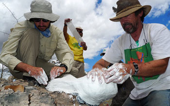 Scientists Ken Angielczyk, Roger Smith and Sebastien Steyer cast a skull of a dicynodont.