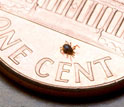 Photo of a blacklegged tick on a one cent piece.