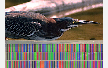 "Photo of heron and its ""DNA barcode""."