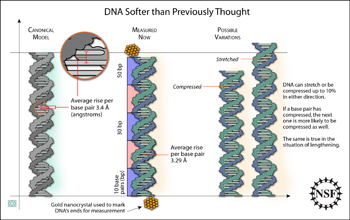 Graphic of strands of DNA showing variation in compression of base pairs.