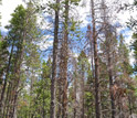 Photo of dead mature lodgepole pines as a result of the beetle epidemic.