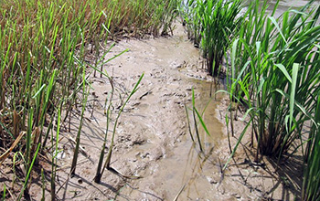 Drought can have a lasting impact on microbes that live in the roots of rice plants.