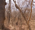Photo of a dry forest during the pronounced dry season.