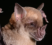 The pale spear-nosed bat will be part of research to explore the cause of exceptional longevity.