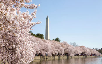 Photo of cherry blossoms along the Tidal Basin with the Washington Monument in the background.
