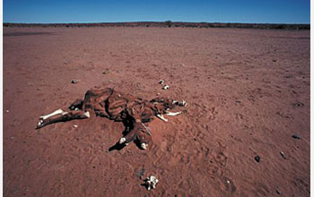 Photo of emaciated, dead animal in a desert.