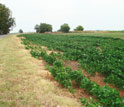 Photo of rows of plants in an agricultural field.