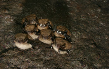 Photo of bats infected with White-Nose Syndrome.