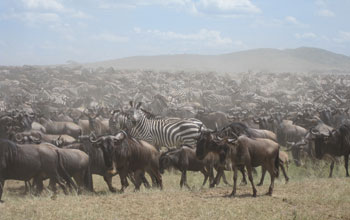 Photo of zebra and wildebeest in the Serengeti.