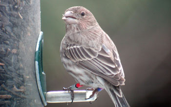 Photo of a house finch sitting on a bird feeder.