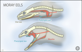 Two views of eel anatomy: one with pharyngeal jaw at rest, one with it protracted