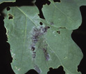 Photo showing insects melted onto foliage by the gypsy-moth virus.